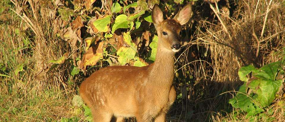 Roe deer fawn in the early morning at Hendersyde