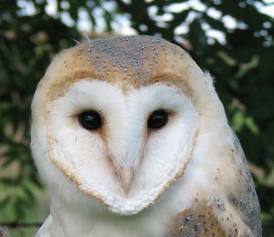 Barn Owl at Hendersyde