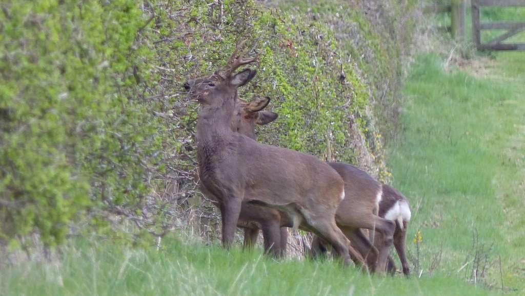 Roe deer - hedge trimmers at Hendersyde!