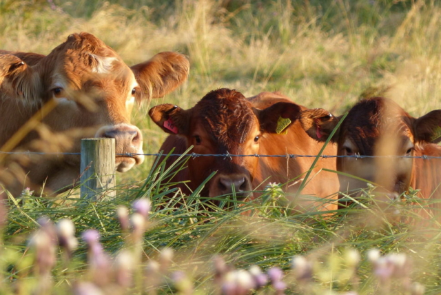 Flourishing flowers and curious cattle in The Haugh