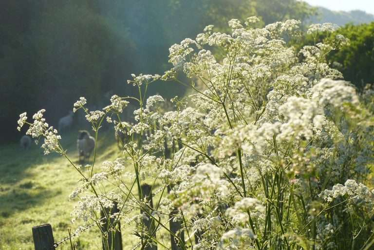 Cow Parsley along The Mill Lane