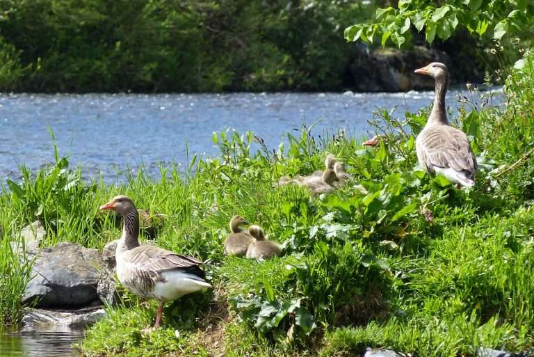 Family of geese relaxing under The Rennie Bridge at Kelso